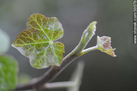 Ivy - Photos of plants - Flora - MORE IMAGES. Image #30576