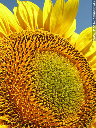 Sunflower - Photos of flowers - Flora - MORE IMAGES. Image #30947