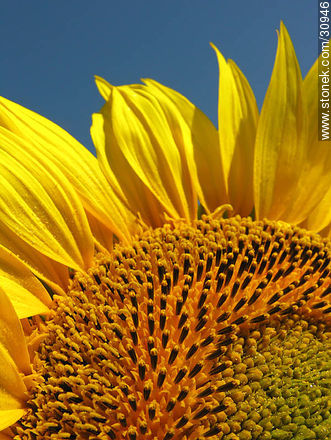 Sunflower - Photos of the Uruguayan Countryside - URUGUAY. Image #30946
