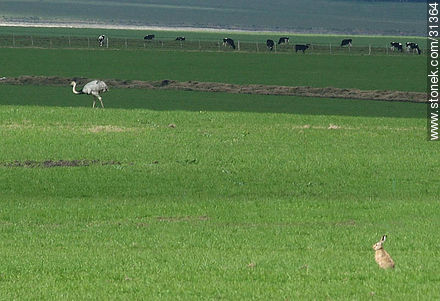 Hare, rhea and cattle in uruguayan fields - Photos of the Uruguayan Countryside - URUGUAY. Image #31364