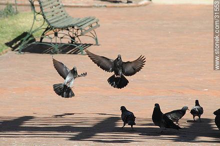 Pigeons - Photos of Pocitos quarter - Department and city of Montevideo - URUGUAY. Image #31553