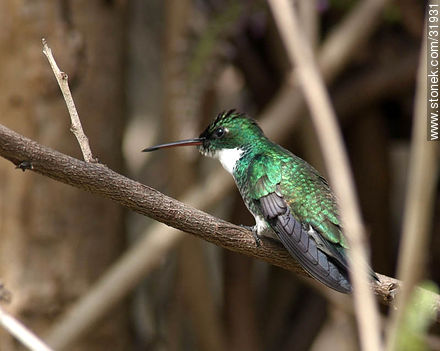 Resting hummingbird - Photos of birds - Fauna - MORE IMAGES. Image #31931
