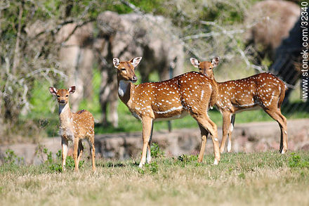 Lecocq zoo. Chital or cheetal (Axis axis), also known as chital deer, spotted deer or axis deer. - Photos of Santiago Vazquez and La Barra de Santa Lucia - Department and city of Montevideo - URUGUAY. Image #32340