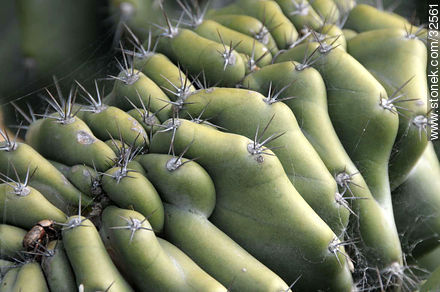 Preackly pear - Photos of prickly pears and its flowers - Flora - MORE IMAGES. Image #32561