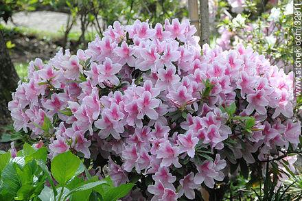 Azaleas in Montevideo Japanese Garden. - Photos of Japanese Garden at Prado quarter - Department and city of Montevideo - URUGUAY. Image #32811