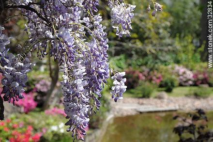 Wisteria in Montevideo Japanese Garden. - Photos of Japanese Garden at Prado quarter - Department and city of Montevideo - URUGUAY. Image #32834