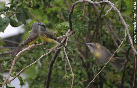 Tropical Kingbird - Photos of birds - Fauna - MORE IMAGES. Image #34114