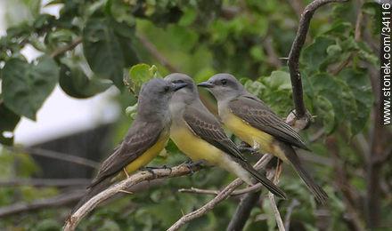Tropical Kingbird - Photos of birds - Fauna - MORE IMAGES. Image #34116