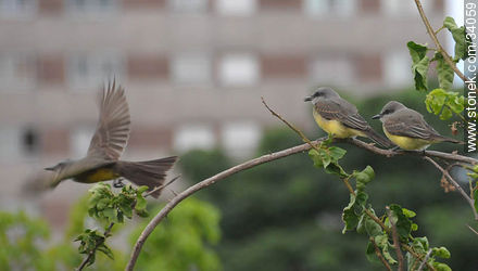 Tropical Kingbird - Photos of birds - Fauna - MORE IMAGES. Image #34059
