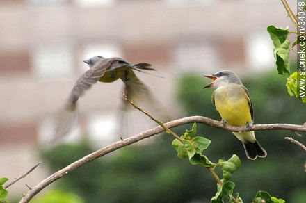 Tropical Kingbird - Photos of birds - Fauna - MORE IMAGES. Image #34048