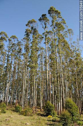 Eucalyptus wood. - Photos of the rural area of Tacuarembó - Tacuarembo - URUGUAY. Image #35949