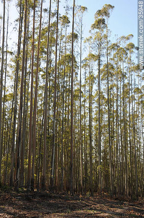 Eucalyptus wood. - Photos of the rural area of Tacuarembó - Tacuarembo - URUGUAY. Image #35948