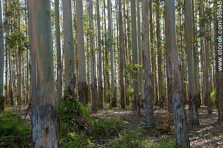 Eucalyptus wood. - Photographic stock - MORE IMAGES. Image #35945