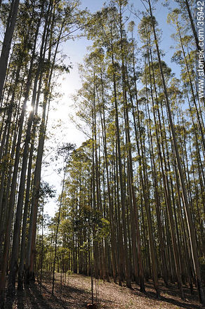 Eucalyptus wood. - Photos of the rural area of Tacuarembó - Tacuarembo - URUGUAY. Image #35942