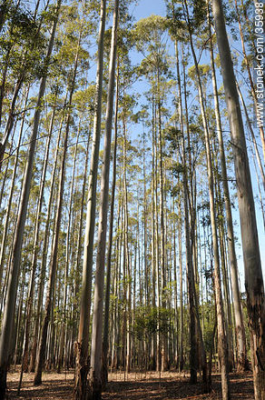 Eucalyptus wood. - Photos of the rural area of Tacuarembó - Tacuarembo - URUGUAY. Image #35938