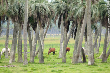 Photos of the palm woodlands, URUGUAY. Image #37268