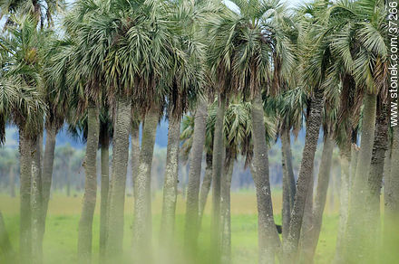 Palm grove - Photos of the palm woodlands, URUGUAY. Image #37266