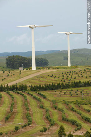 Nuevo Manantial wind farm. Olive grove. - Photos of views of State of Rocha - Department of Rocha - URUGUAY. Image #37253