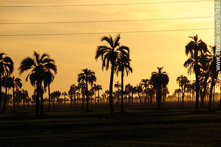 Palm grove. - Photos of the palm woodlands, URUGUAY. Image #37485