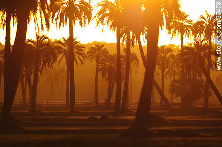 Sunset palm grove  - Photos of the palm woodlands, URUGUAY. Image #37478