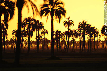 Sunset palm grove  - Photos of the palm woodlands, URUGUAY. Image #37477