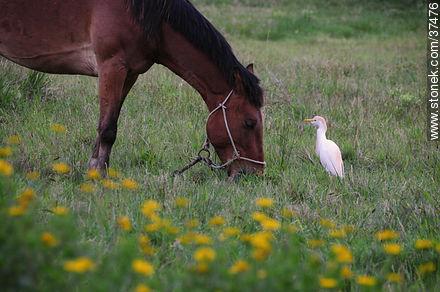 Cattle egret - Photos of La Coronilla resort - Department of Rocha - URUGUAY. Image #37476