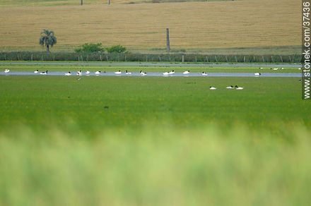 Swans - Photos of views of State of Rocha - Department of Rocha - URUGUAY. Image #37436