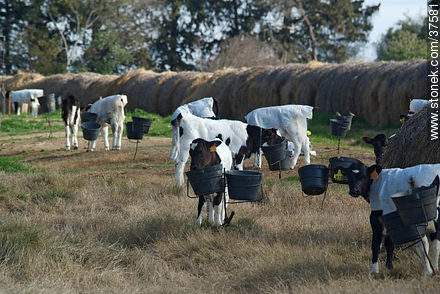 Calfs - Photos of cheese industry - Department of Colonia - URUGUAY. Image #37581
