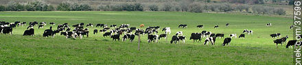 Cattle in the field - Photos of rural area of Colonia - Department of Colonia - URUGUAY. Image #37596