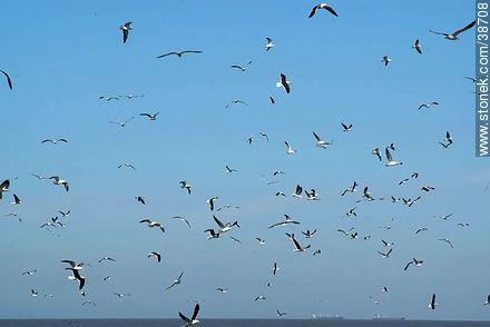 Isla de Flores.  Flock of seagulls. - Photos of Isla de Flores - URUGUAY. Image #38708
