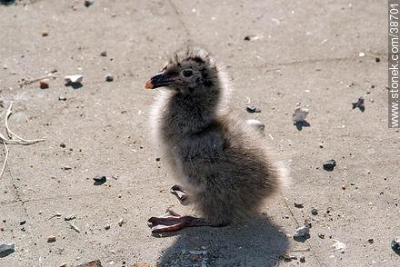 Isla de Flores.  Seagull chick. - Photos of Isla de Flores - URUGUAY. Image #38701