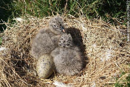 Seagull chicks at Isla de Flores. - Photos of Isla de Flores - URUGUAY. Image #38672