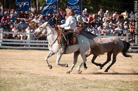 Carrying a wild horse - Photos of Patria Gaucha festivity - Tacuarembo - URUGUAY. Image #39904