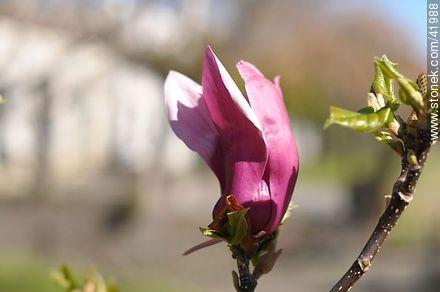 Magnolia soulangiana - Photos of Colonia del Sacramento - Department of Colonia - URUGUAY. Image #41988