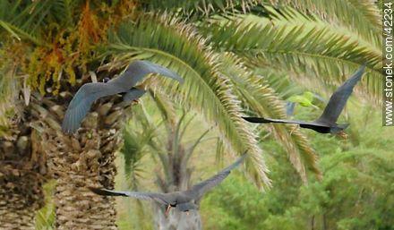 Bare-faced Ibis  - More photos of Punta del Este - Punta del Este and its near resorts - URUGUAY. Image #42234