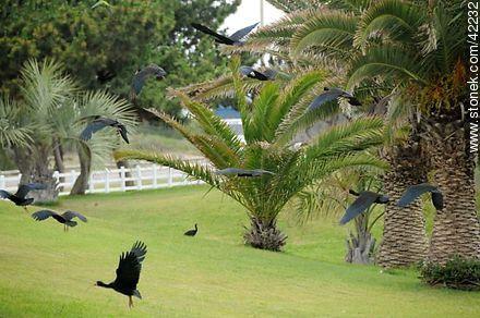 Bare-faced Ibis  - More photos of Punta del Este - Punta del Este and its near resorts - URUGUAY. Image #42232