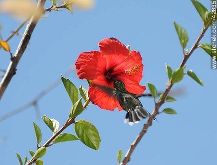 Common hummingbird - Photos of birds - Fauna - MORE IMAGES. Image #42885