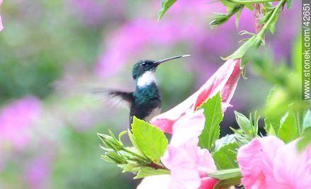 White-throated Hummingbird - Photos of Piriapolis - Department of Maldonado - URUGUAY. Image #42651