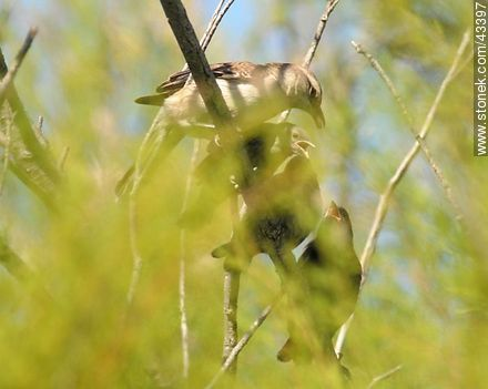 Large calandria and its chicks  - Photos of birds - Fauna - MORE IMAGES. Image #43397