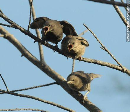 Hungry Calandra Lark and thrush chicks - Photos of birds - Fauna - MORE IMAGES. Image #43380