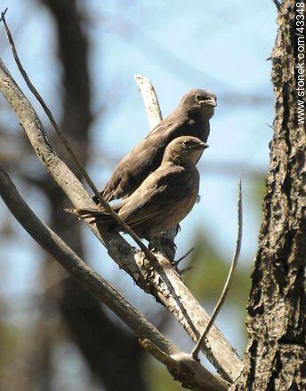 Calandra Lark and thrush chicks - Photos of birds - Fauna - MORE IMAGES. Image #43348