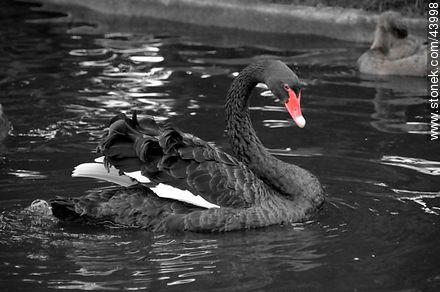 Black swan - Photos of birds - Fauna - MORE IMAGES. Image #43998
