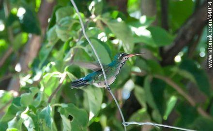 Humming bird - Photos of birds - Fauna - MORE IMAGES. Image #44014