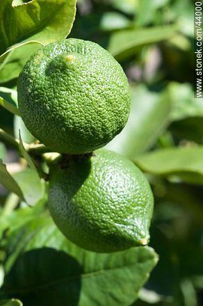 Lemon - Photos of fruits - Flora - MORE IMAGES. Image #44000