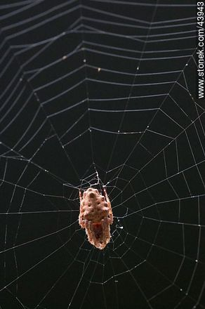 Spider weaving its web - Photos of arthropods (insects +) - Fauna - MORE IMAGES. Image #43943