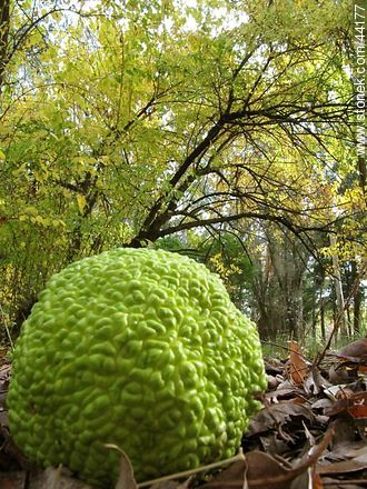 Maclura pomifera - Photos of fruits, MORE IMAGES. Image #44177