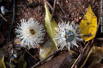 Eucalyptus Flower - Photos of fruits, MORE IMAGES. Image #44356