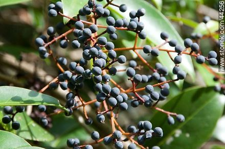 Ligustrum - Photos of fruits - Flora - MORE IMAGES. Image #44256