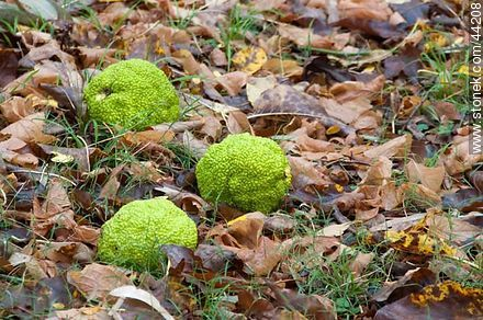 Maclura pomifera - Photos of fruits, MORE IMAGES. Image #44208