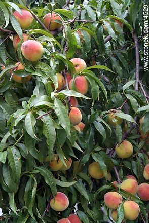 Peach-tree - Photos of fruits, MORE IMAGES. Image #45291